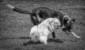 Shangbang Merit Certificate - Peter Teuschel (Germany) <br /> Playing Dogs